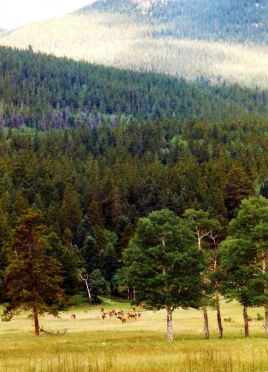 Elk in the meadow near Estes Park