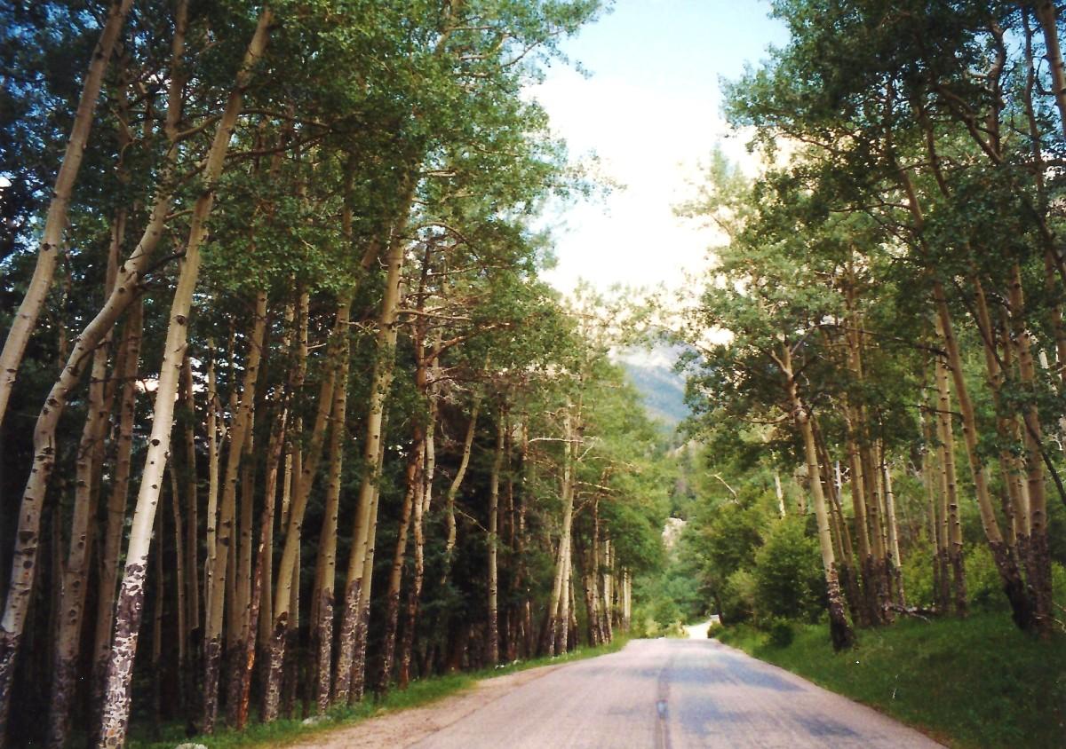 Aspen grove of trees