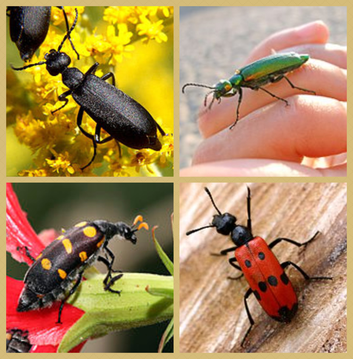 Various types of Blister beetles.