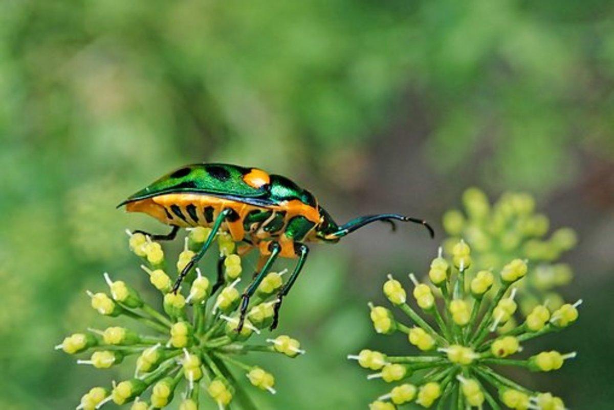 A Jewel Beetle