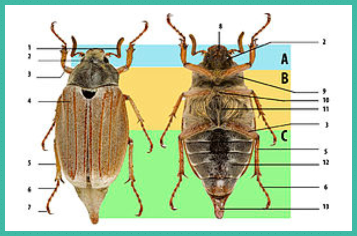 Beetle body structure, using cockchafer. A: head, B: thorax, C: abdomen. 1: antenna, 2: compound eye, 3: femur, 4: elytron (wing cover), 5: tibia, 6: tarsus, 7: claws, 8: mouthparts, 9: prothorax, 10: mesothorax, 11: metathorax, 12: abdominal sternit