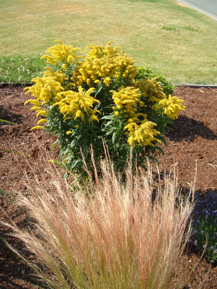 Solidago 'Golden Baby' with Stipa tenuissima