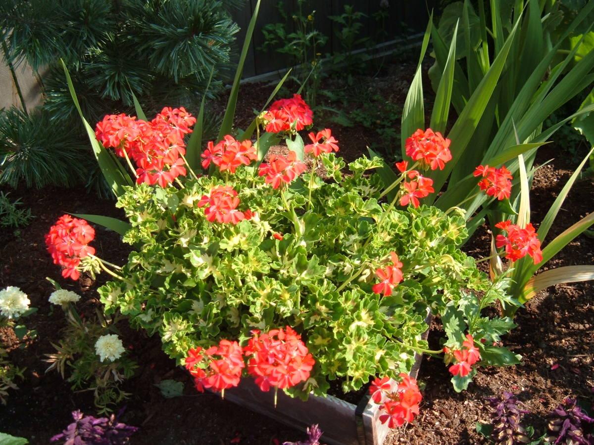 One of my favourite pelargoniums (geranium)