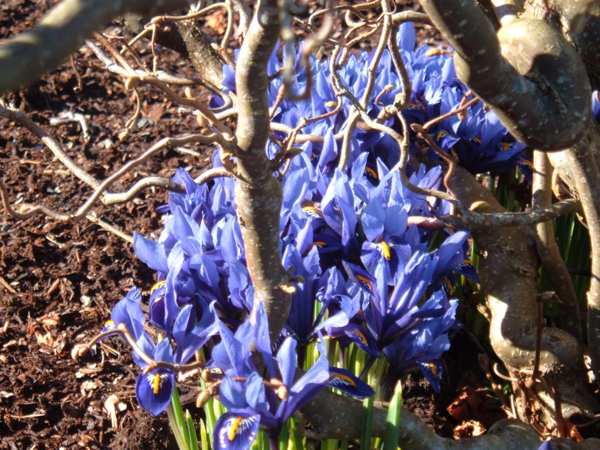 Iris reticulata sheltered under the contorted hazel