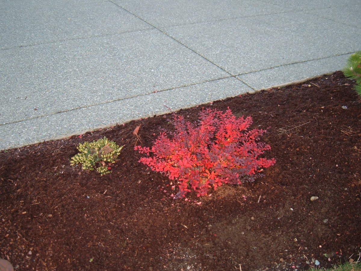 Berberis 'Crimson Pygmy' fall colour