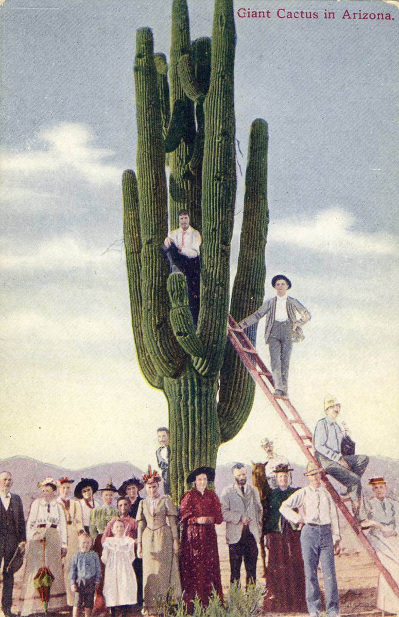 Saguaro Cactus Circa 1910.  The practice of having a man, a group or a wagon posed under the saguaro showed the size of the giant saguaro.