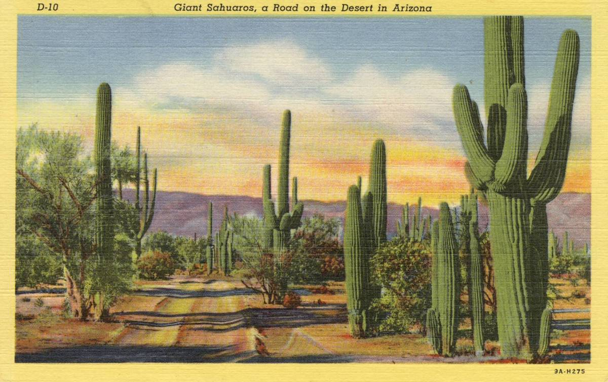 Saguaro stand on the Arizona Desert circa 1940.