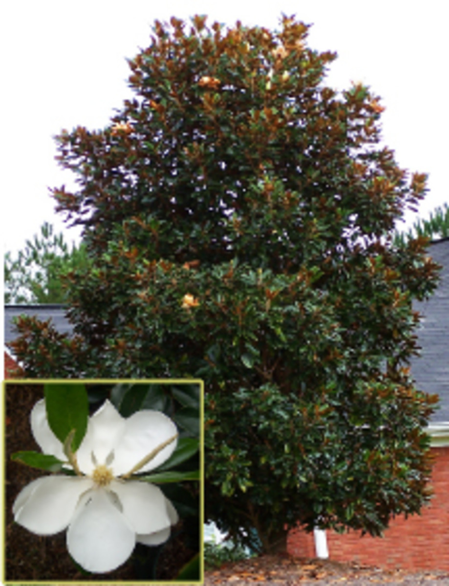 How to Grow the DD Blanchard Magnolia Grandiflora
