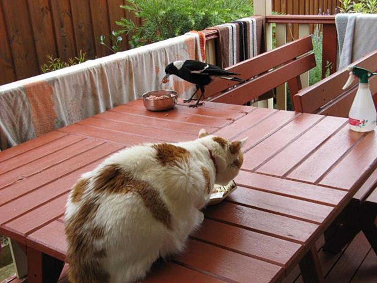 Taeko and Dumbo (the Magpie ) devour their brekkys :)