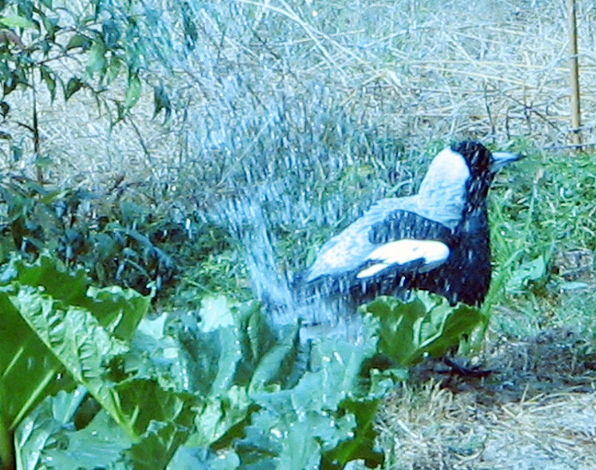 Magpie cooling off in the Veggie patch!