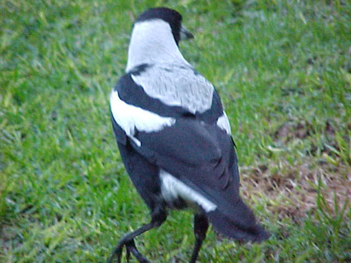 Magpie mum with her slightly greyish back