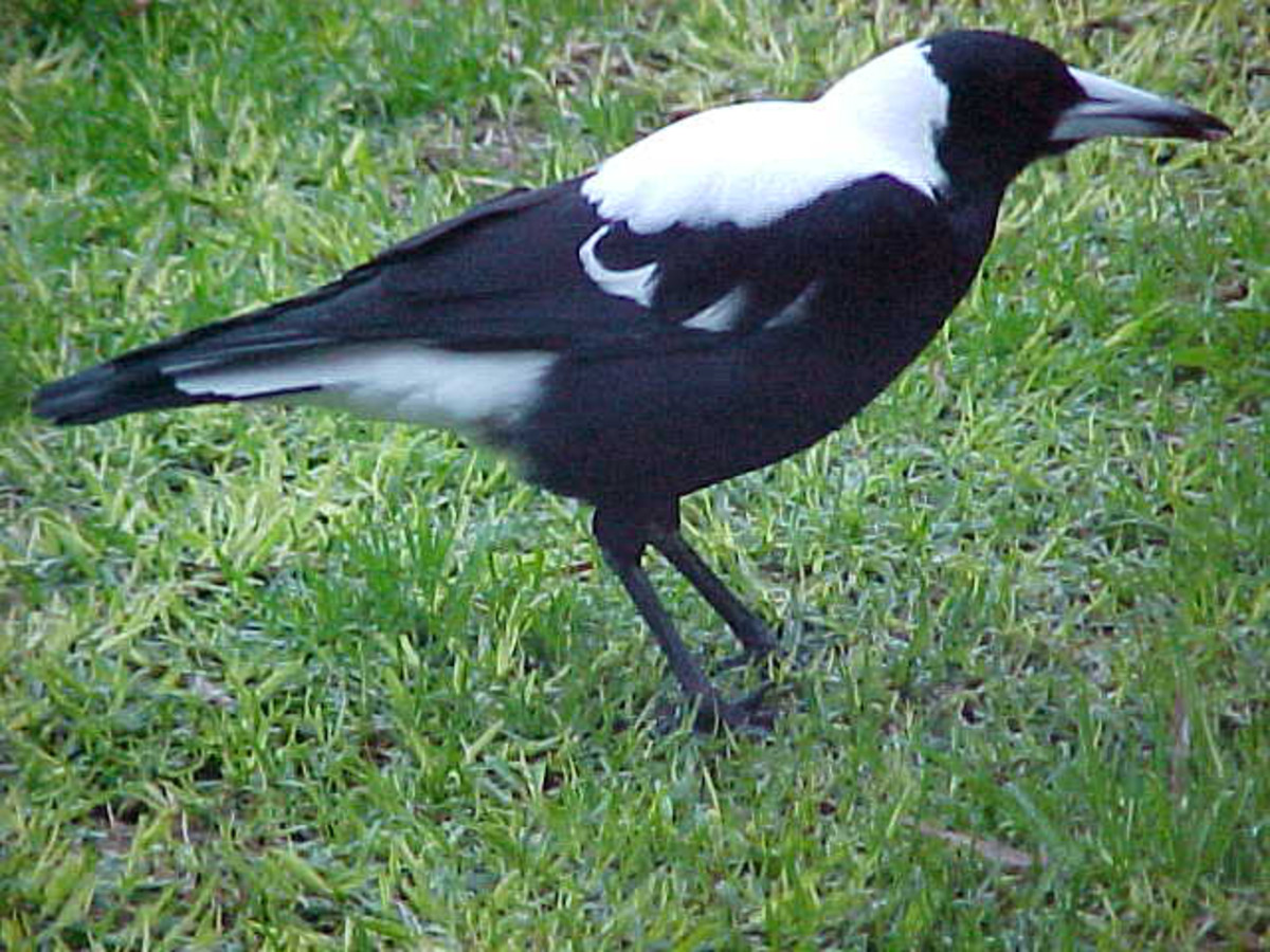 Magpie dad looking great in black and white