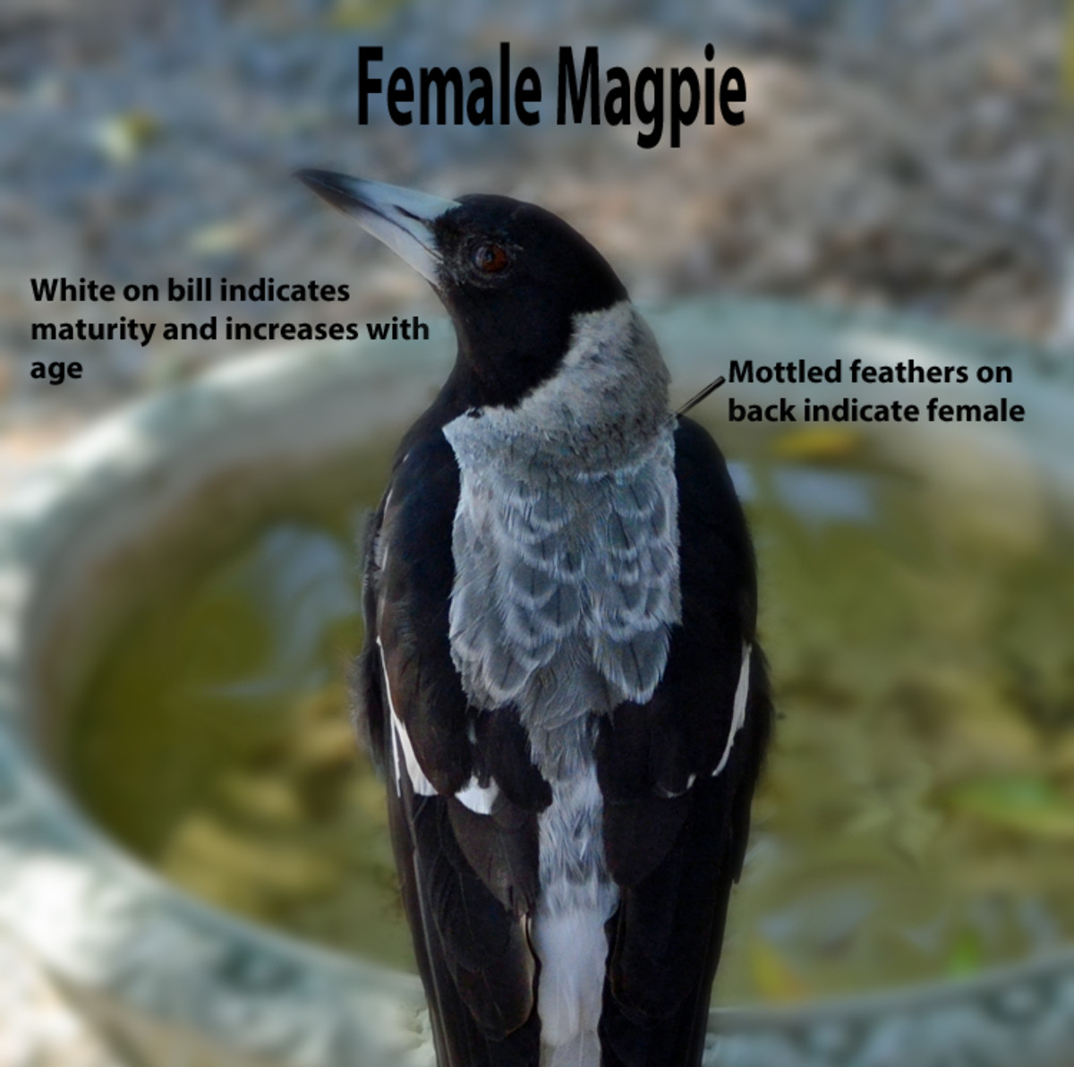 Female magpie has bill turning white indication some age and mottled back indicating - female