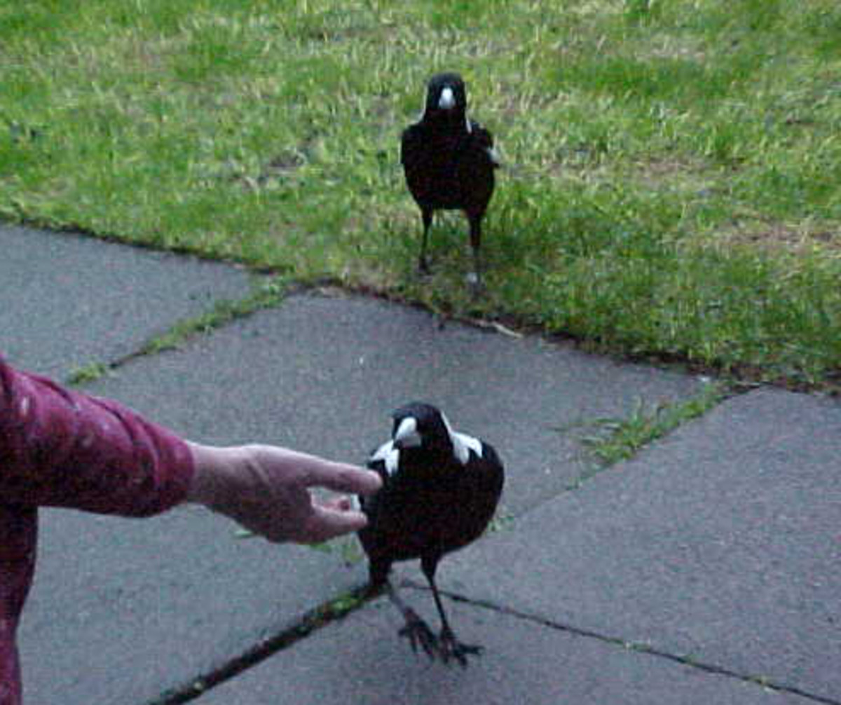Magpie mum and dad queue up for dinner.