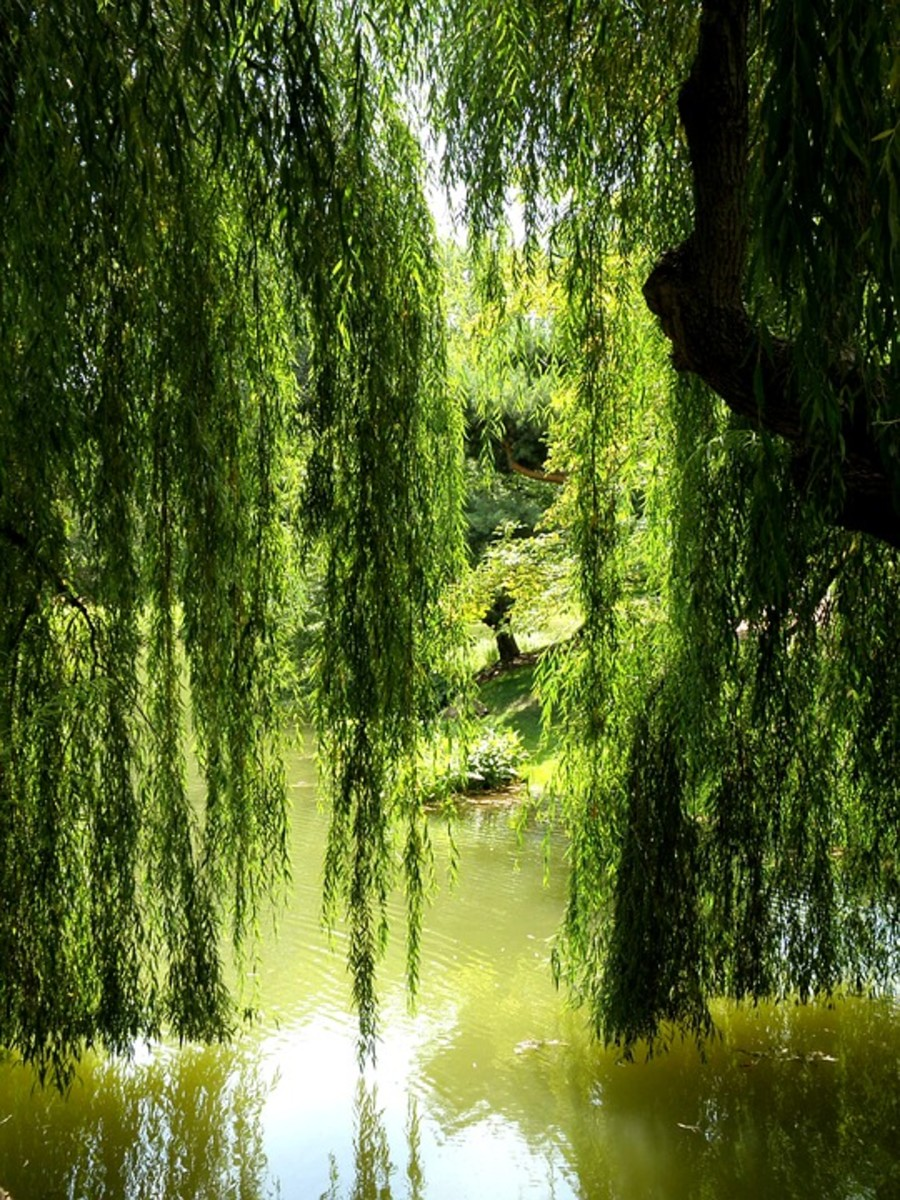 The leaves and bark of the weeping willow tree were used in ancient times for aches and fever.