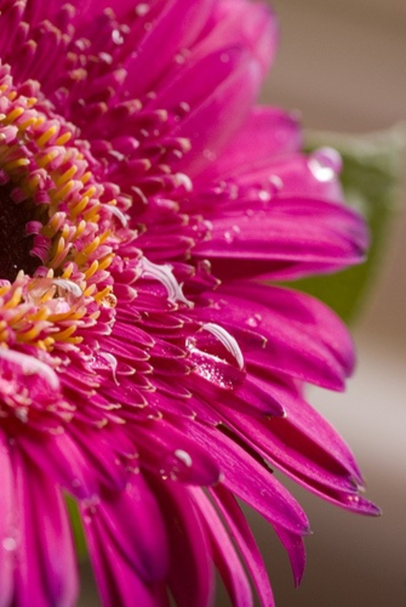 Gerbera with water droplets