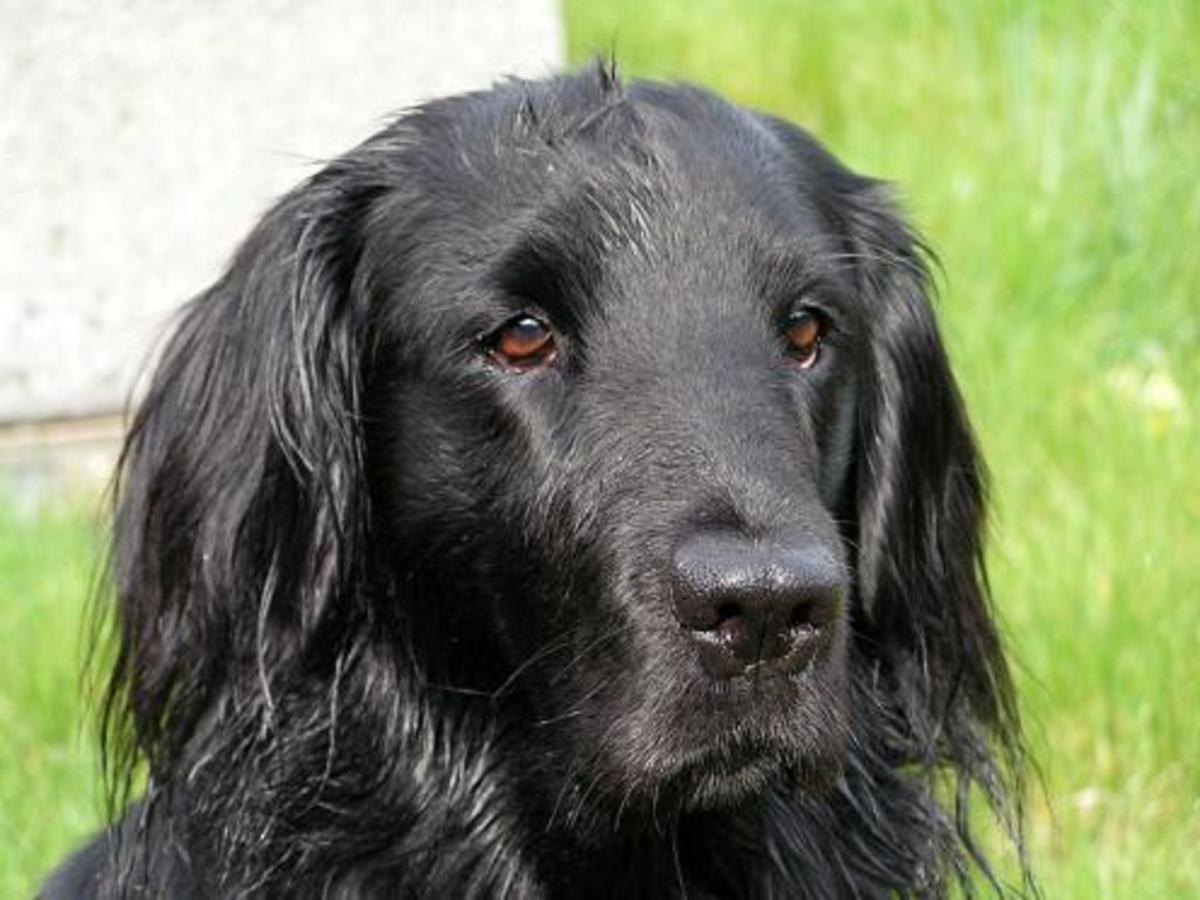 All breeds can learn how to look for chantarelles! Here is a photo of my lovely flat coated Retriver; Ebowie!