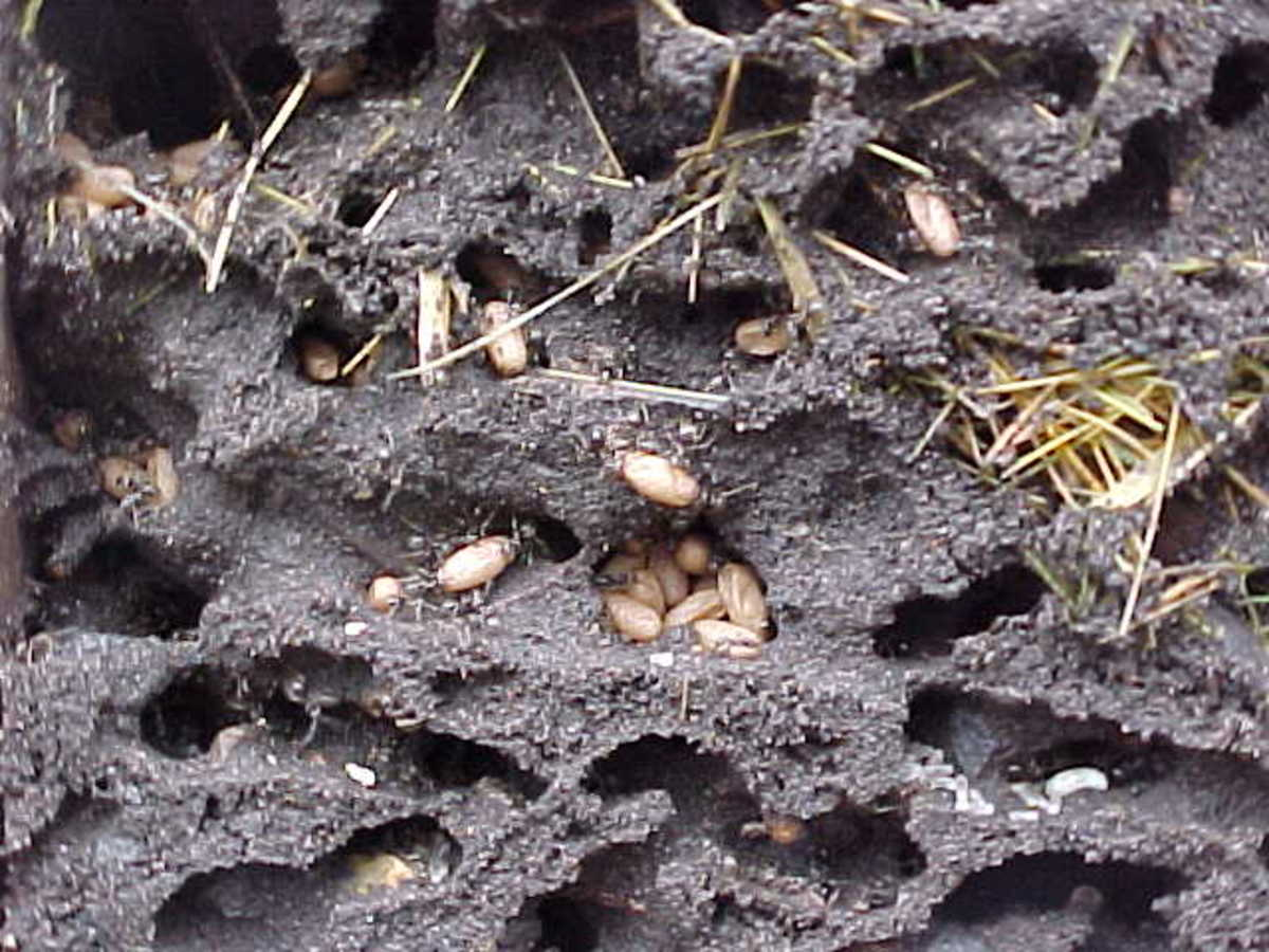 Ant Nests and Eggs