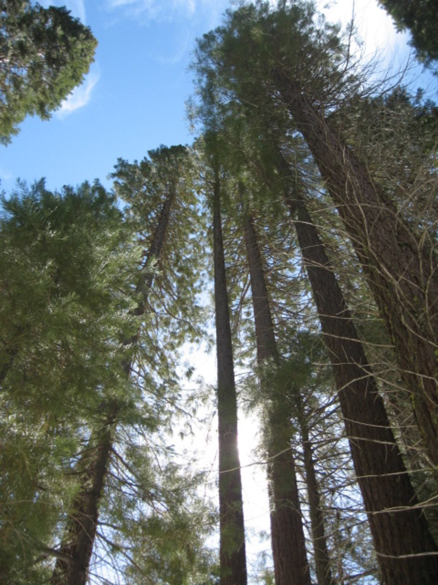 The Big Trees of Sequoia N.P.