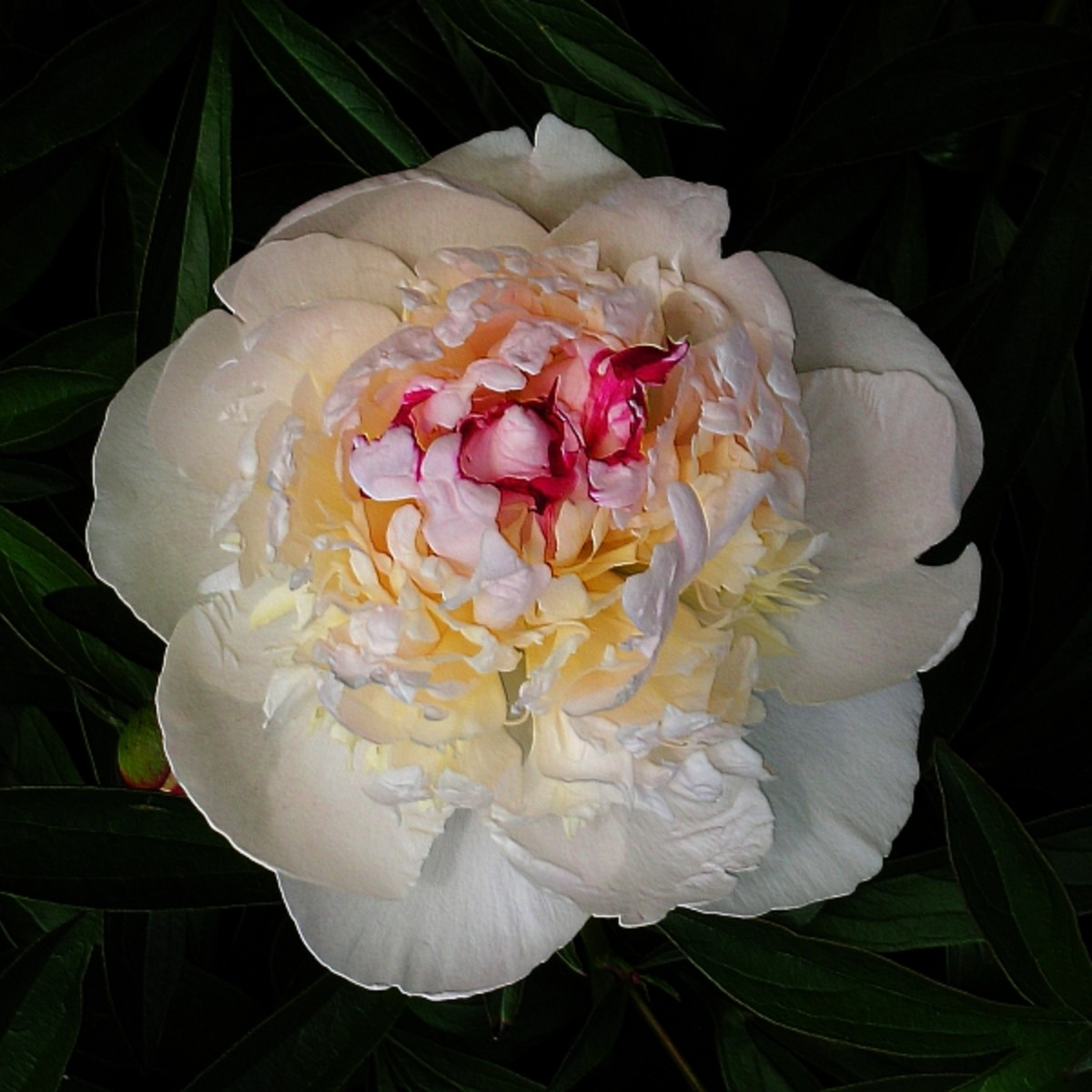 three-sensational-peony-plants