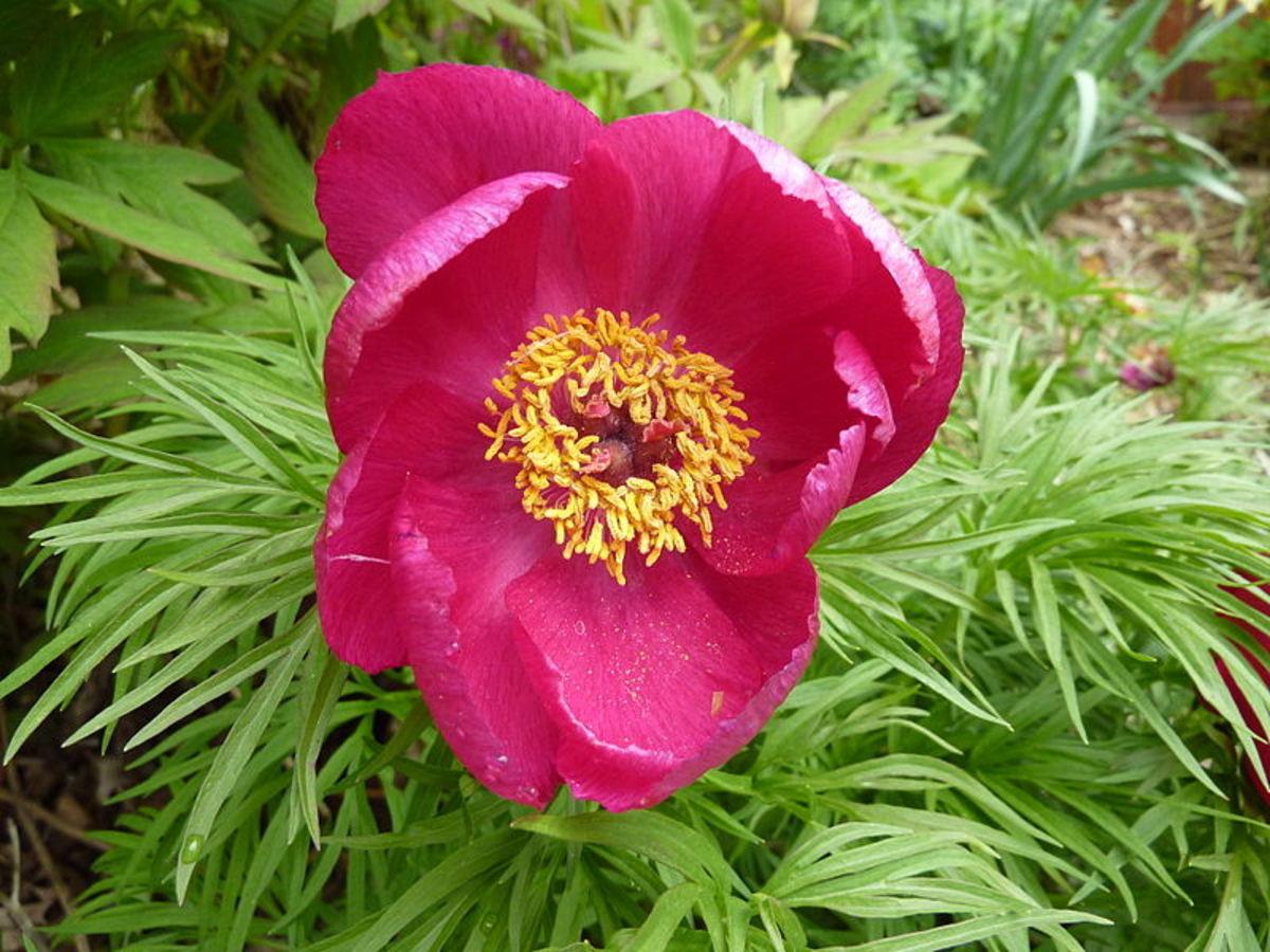 P. tenuifolia