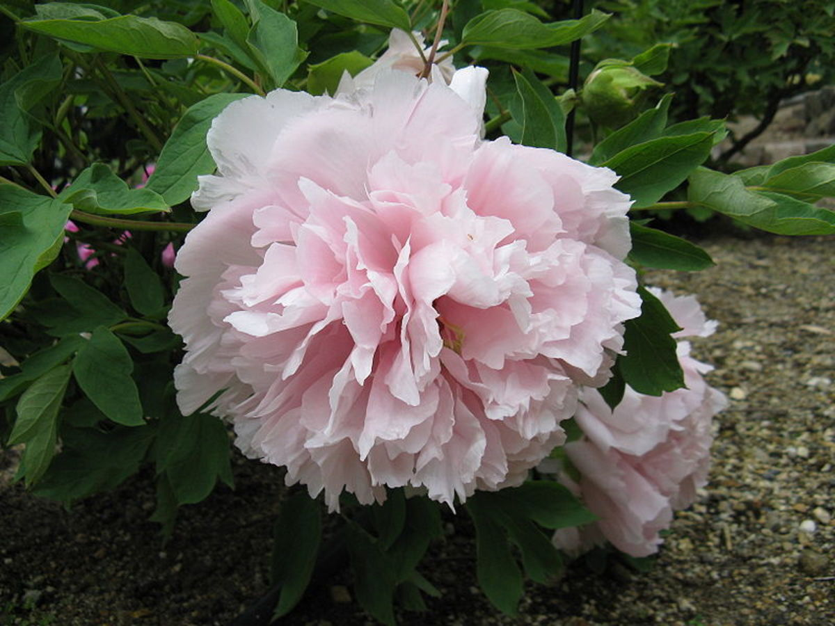 The tree peony Yoshino Gawa is a large woody shrub that produces double, light pink blossoms from May through June.
