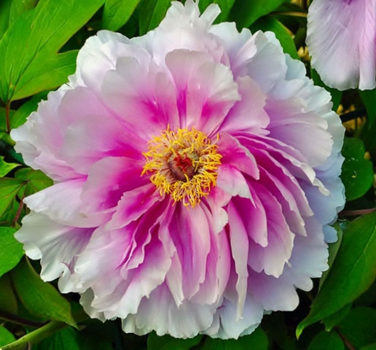 The tree peony 'Shin Kamata' on display at Parc de Bagatelle at 16th arrondissement of Paris.