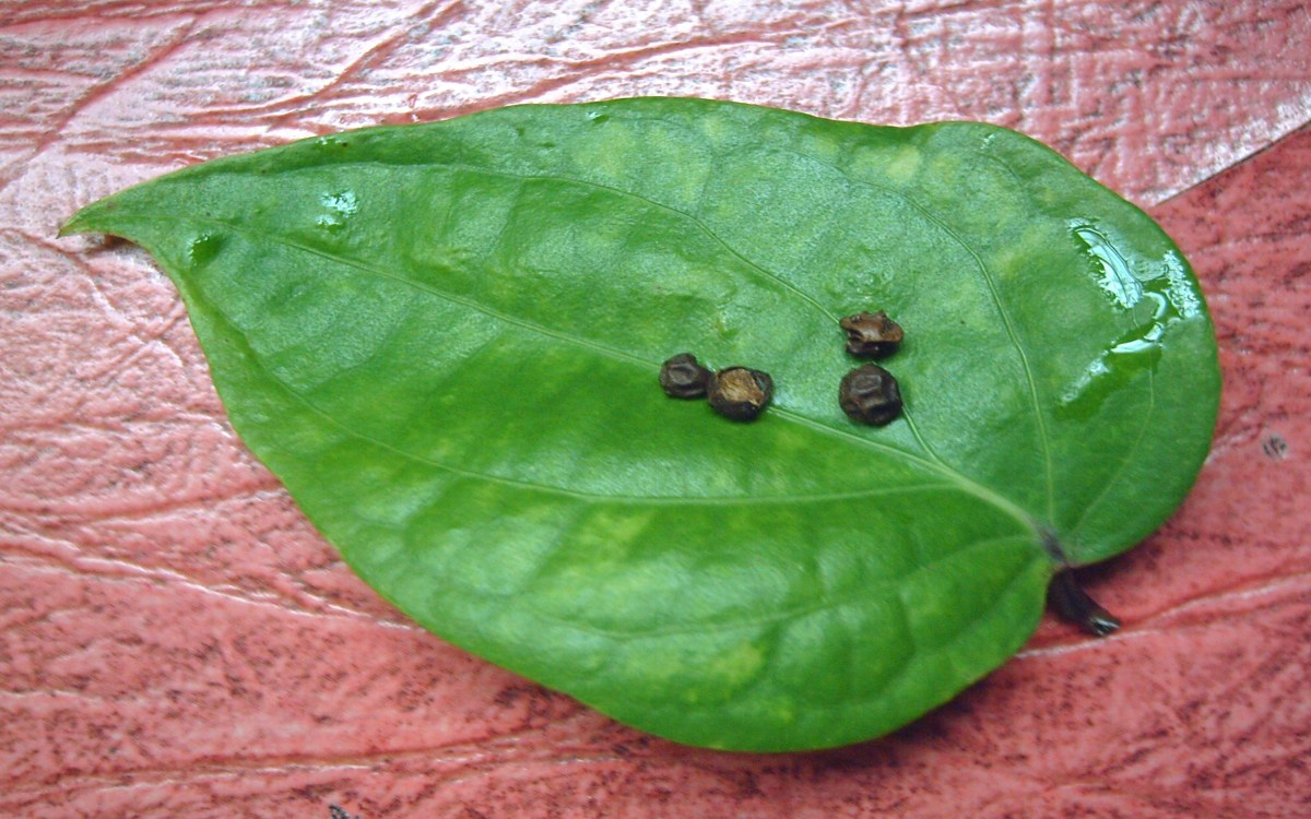 Fresh black pepper leaf and its  seeds (Photo by Travel Man)