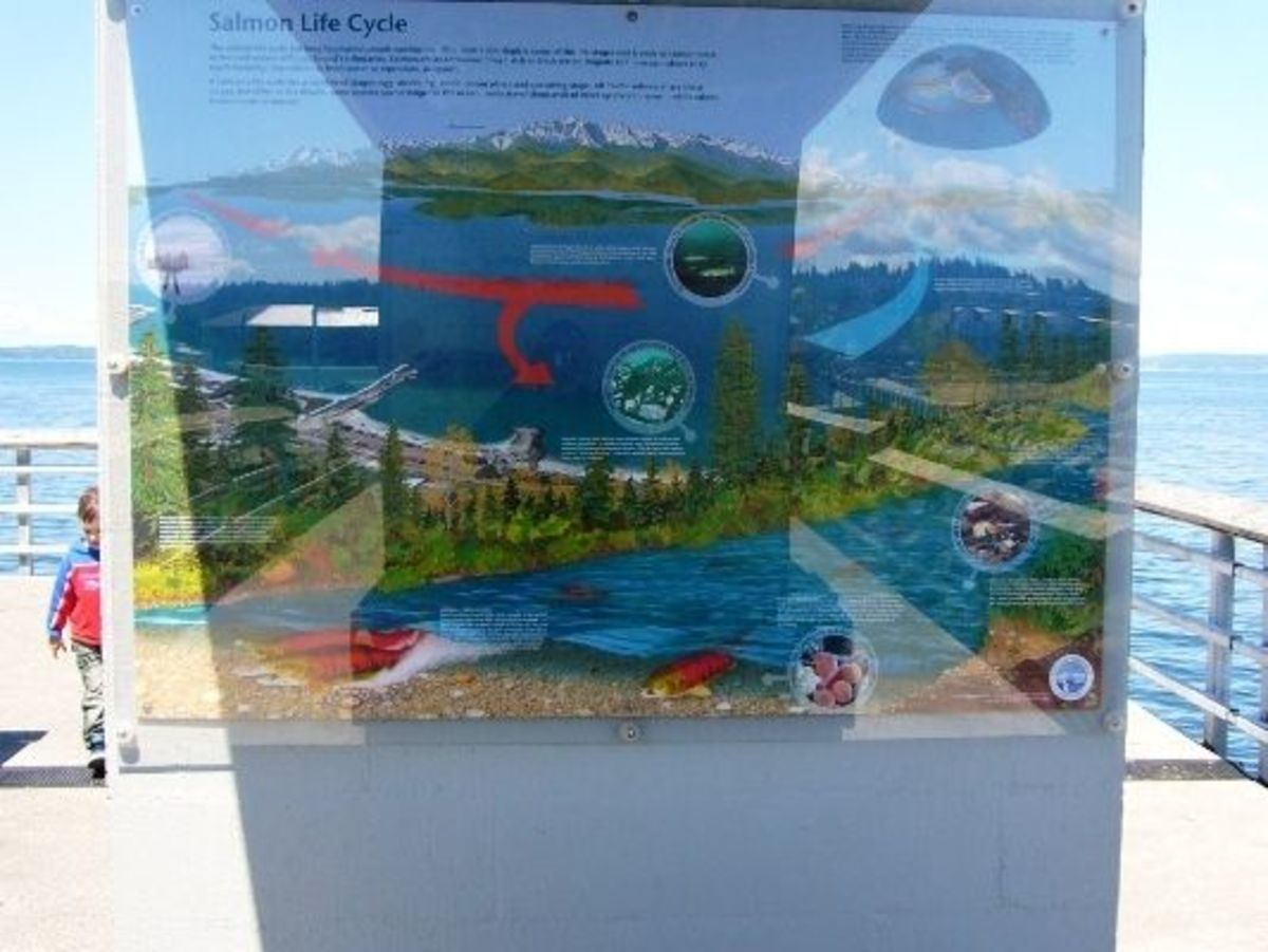 An Interpretive sign posted on the fishing pier describing the salmon life cycle