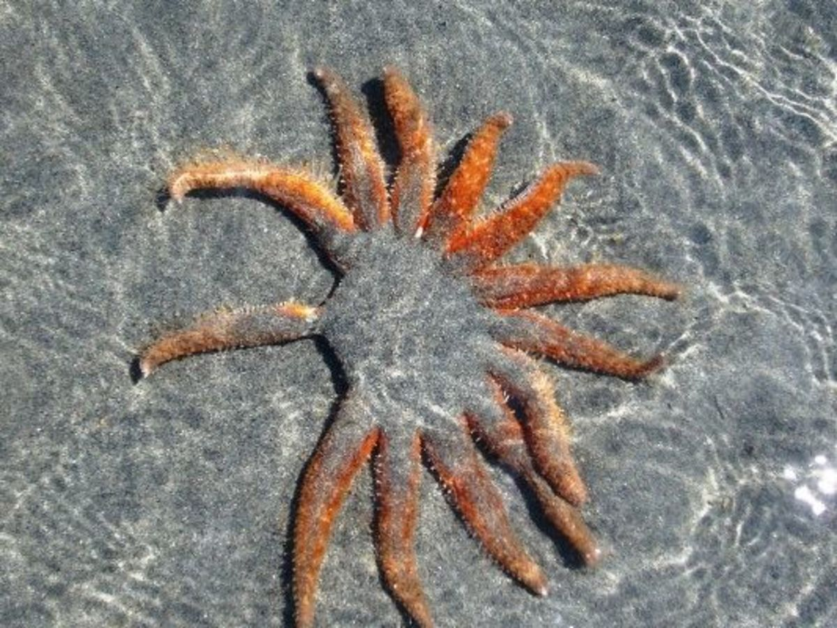 This is another species of sea star - look at all of those legs and it's missing a few!