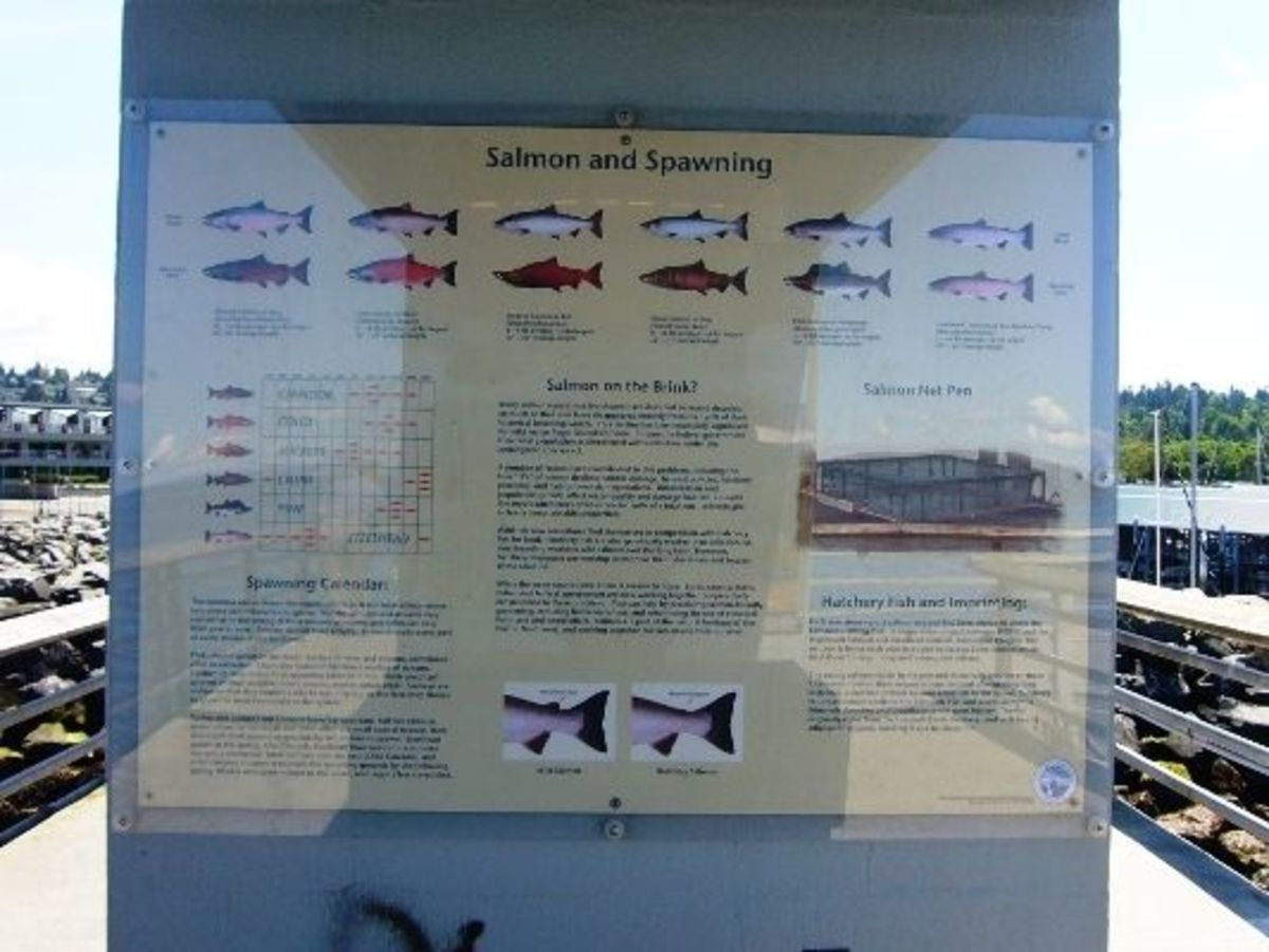 This sign explains the coho imprinting pen and more information about salmon.