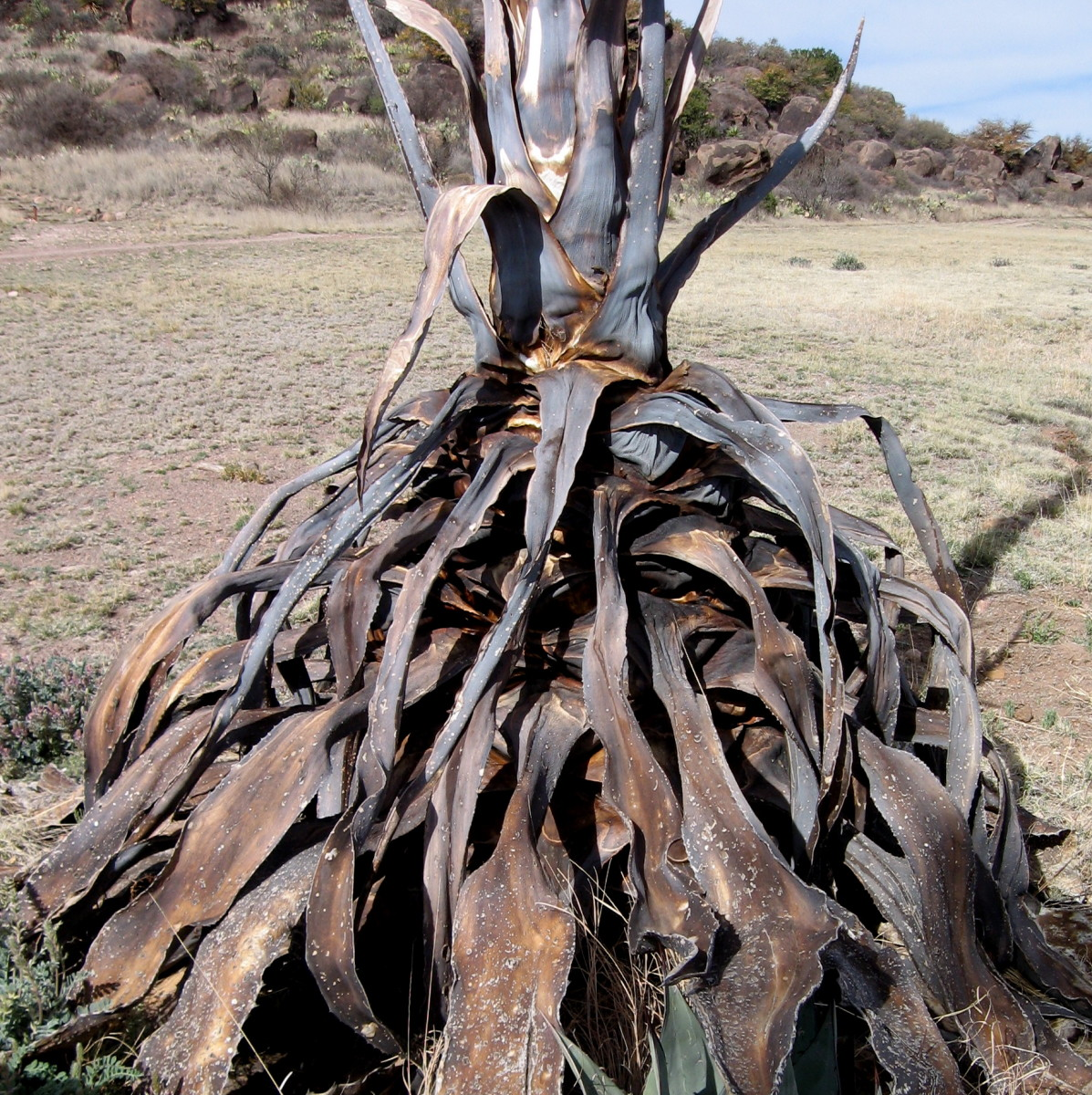 Decayed yucca plant.