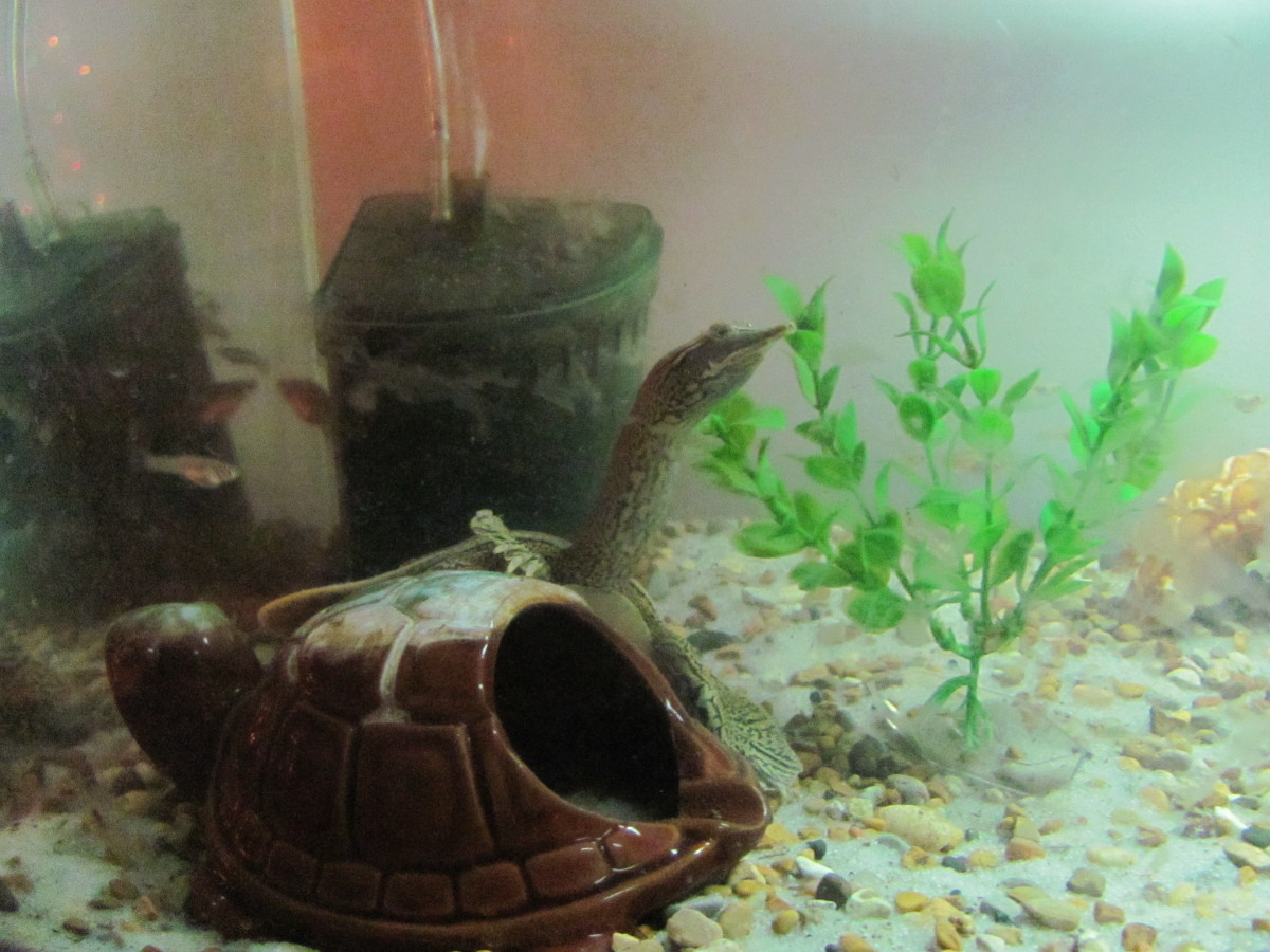 My turtle at about 10 months old. Noticeable difference in shell shape. The last half of his shell is still bent slightly upward, but it has come a long way from looking like a misshapen bowl.