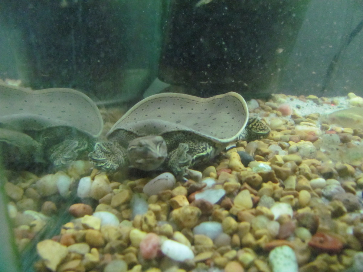 Baby Softshell Turtle Food