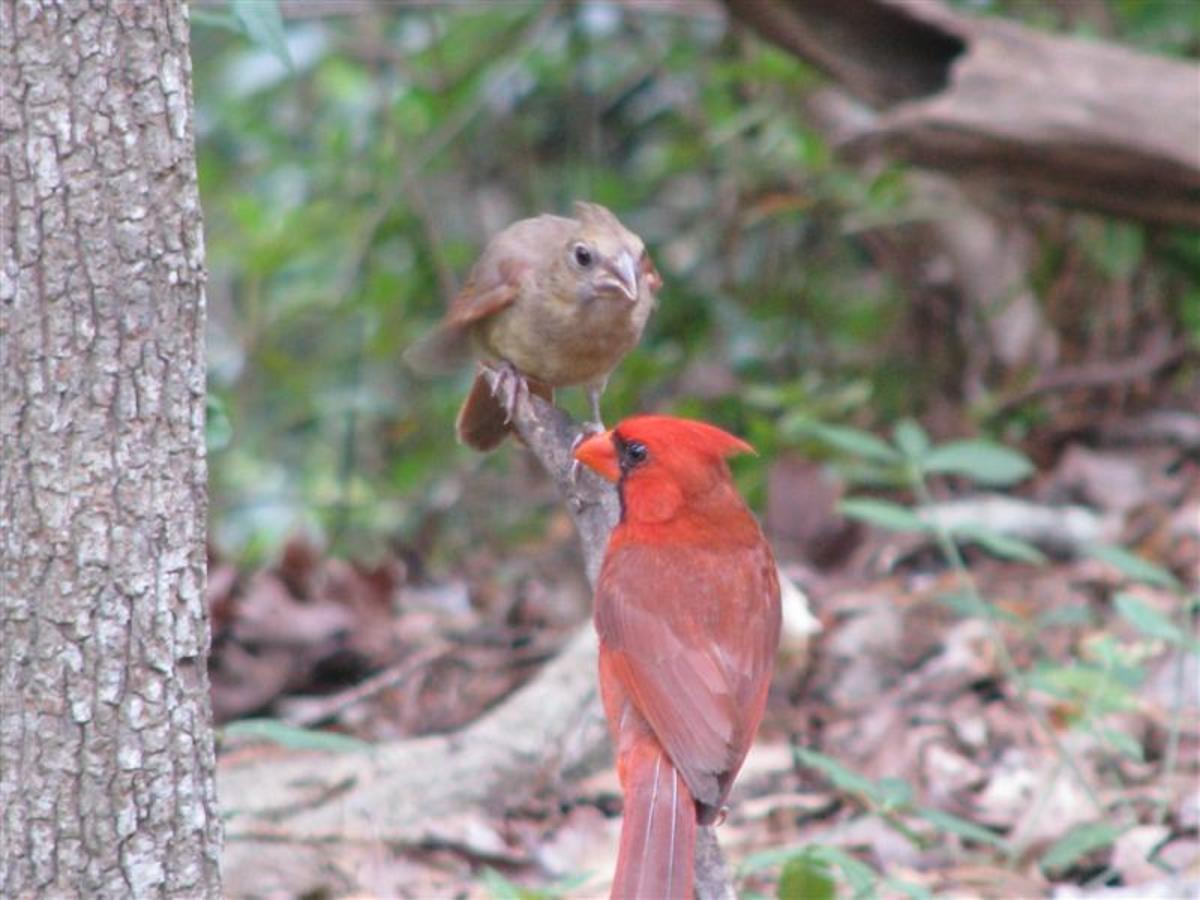 The male Cardinal feeds the first brood by himself.