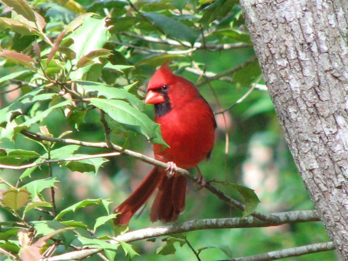 Male Cardinal in a native American Holly tree.