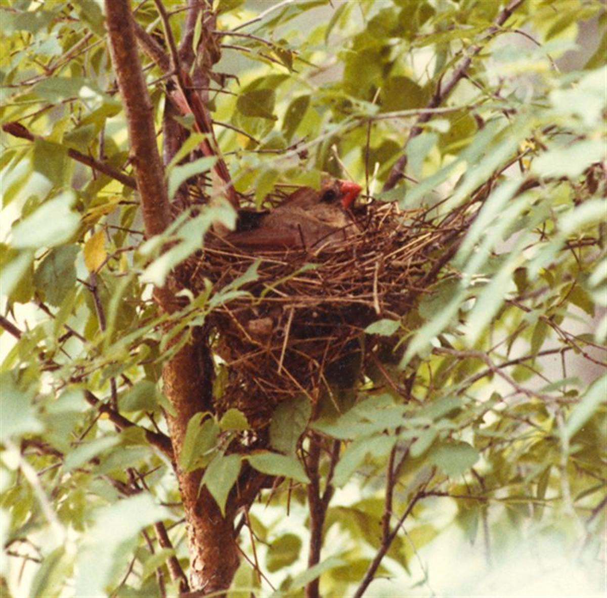 Mother Cardinal on the nest.