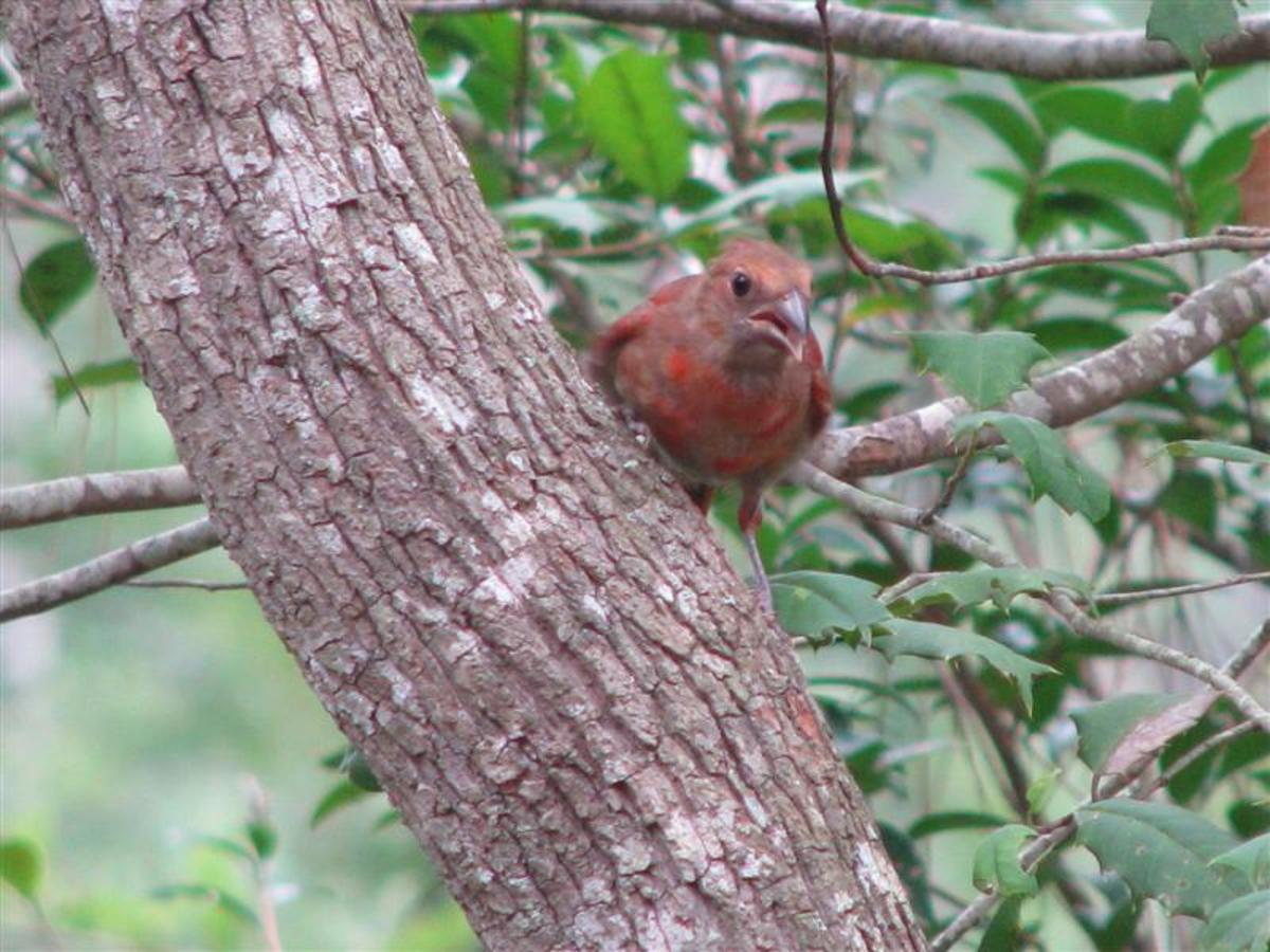 Someday this bird will be a bright, red male Cardinal.