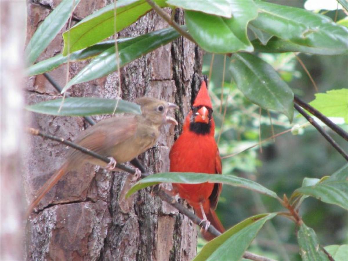 Pictures of Birds - Cardinals Nesting