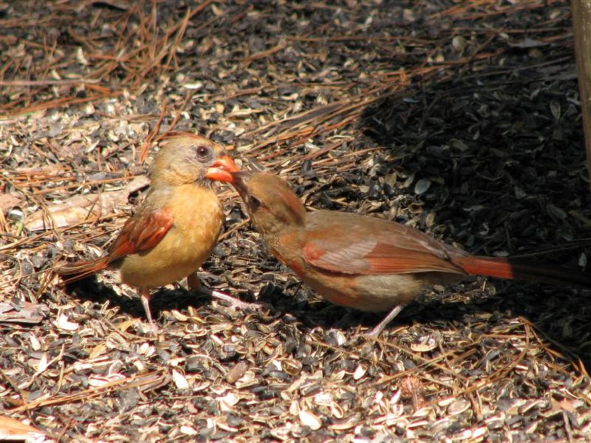Cardinals in Louisiana usually have 3 broods.