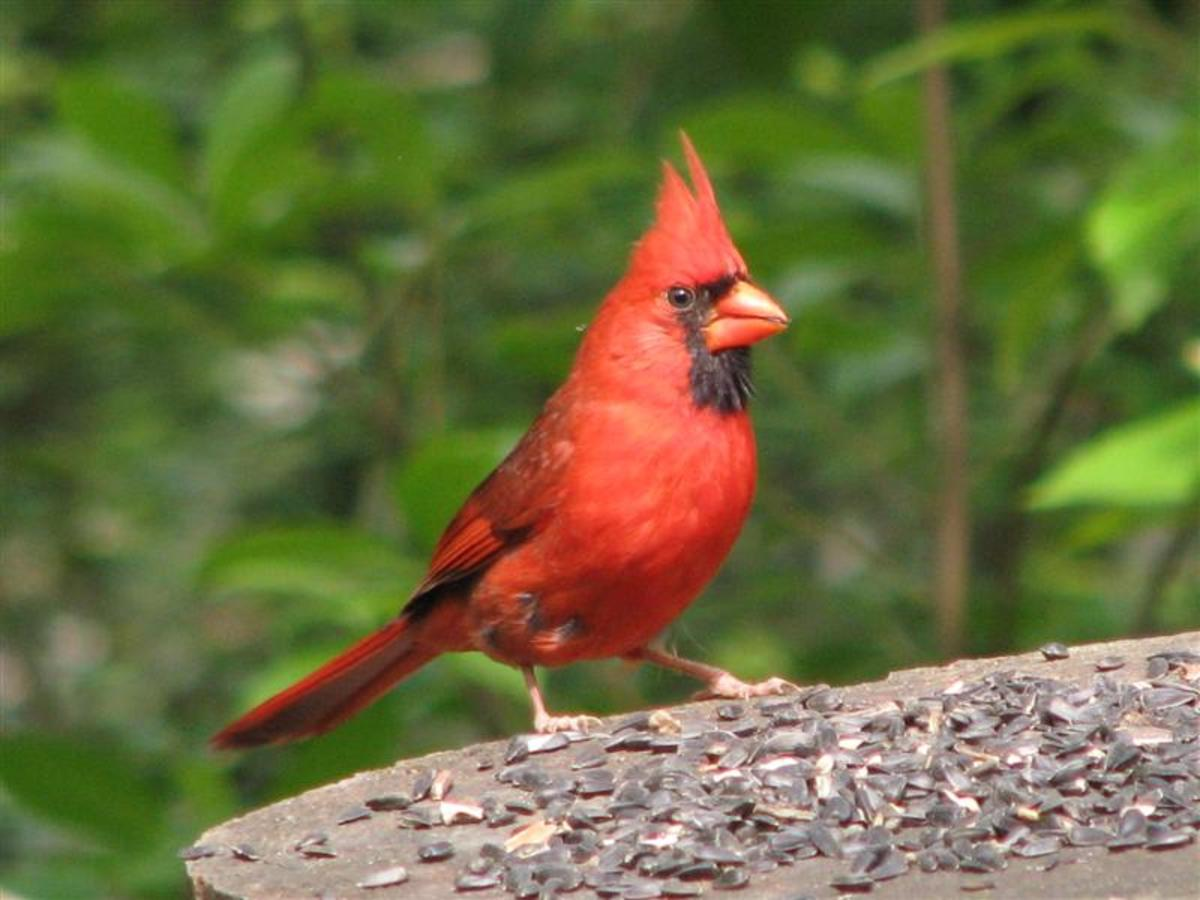 Male Cardinals are very attractive.