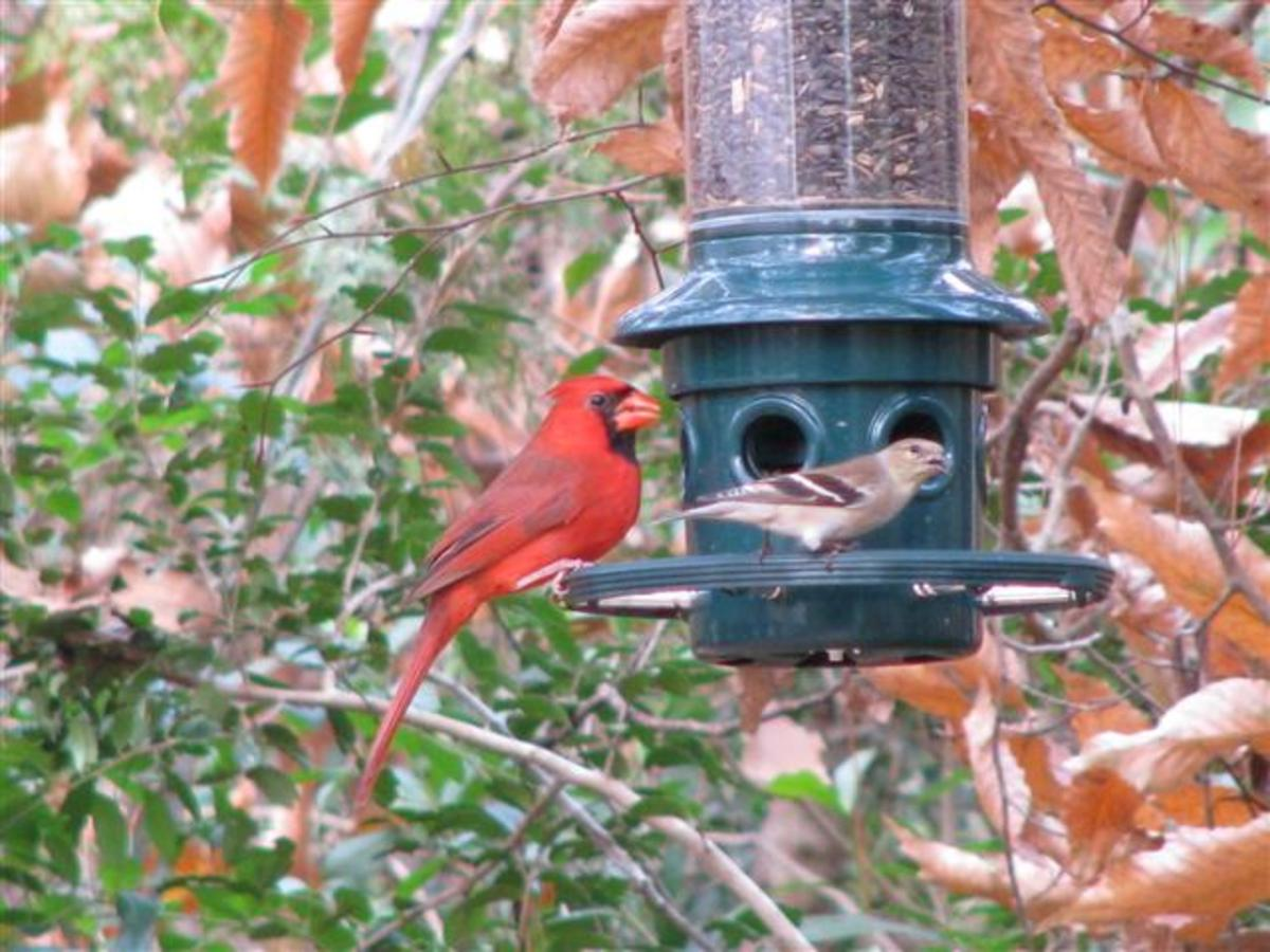 The Cardinals, Goldfinches and other birds use the Brome Squirrel Buster, but the Squirrels can't.