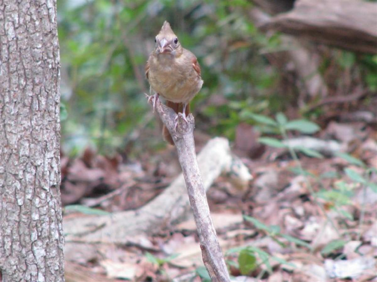 Baby waits for Male Cardinal to return with food.