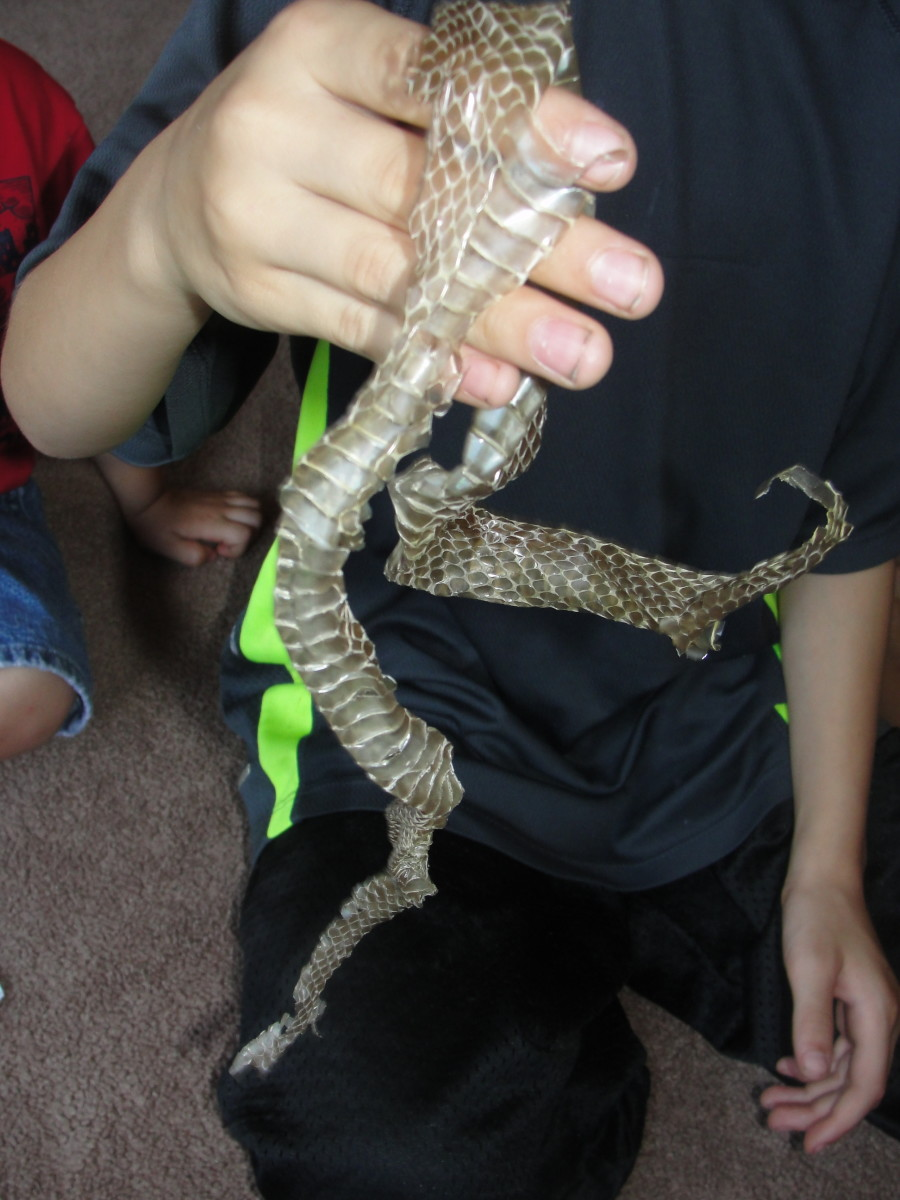 Examining a snake skin