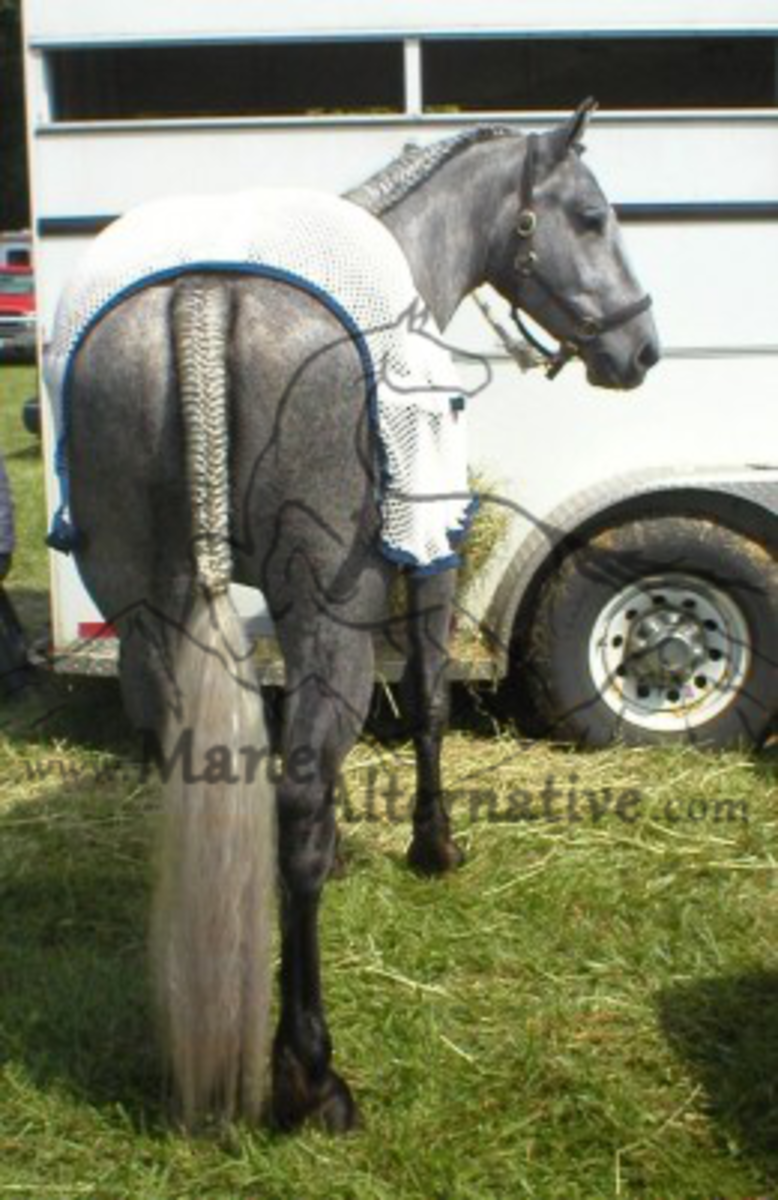 Show Horses and their Beautiful Tail Braids