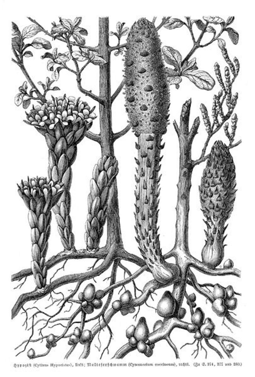 """""""Malteserschwamm"""" (with """"Cytinus hypocistus"""" [sic], left) from Pflanzenleben: Erster Band: Der Bau und die Eigenschaften der Pflanzen, by Anton Joseph Kerner von Marilaun and Adolf Hansen (1913)"""