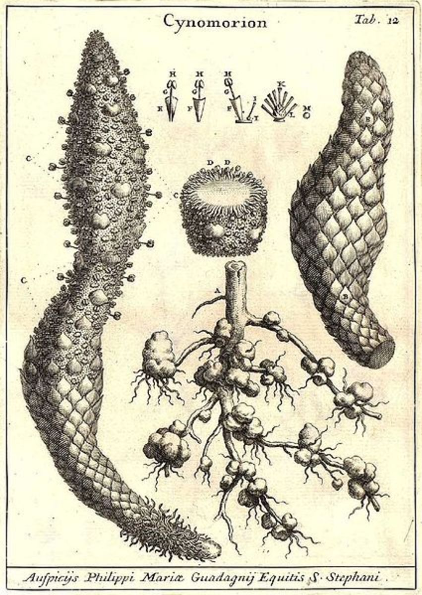 "Illustration of ""Fungus coccineus Melitensis Typhoides""  (1674)"