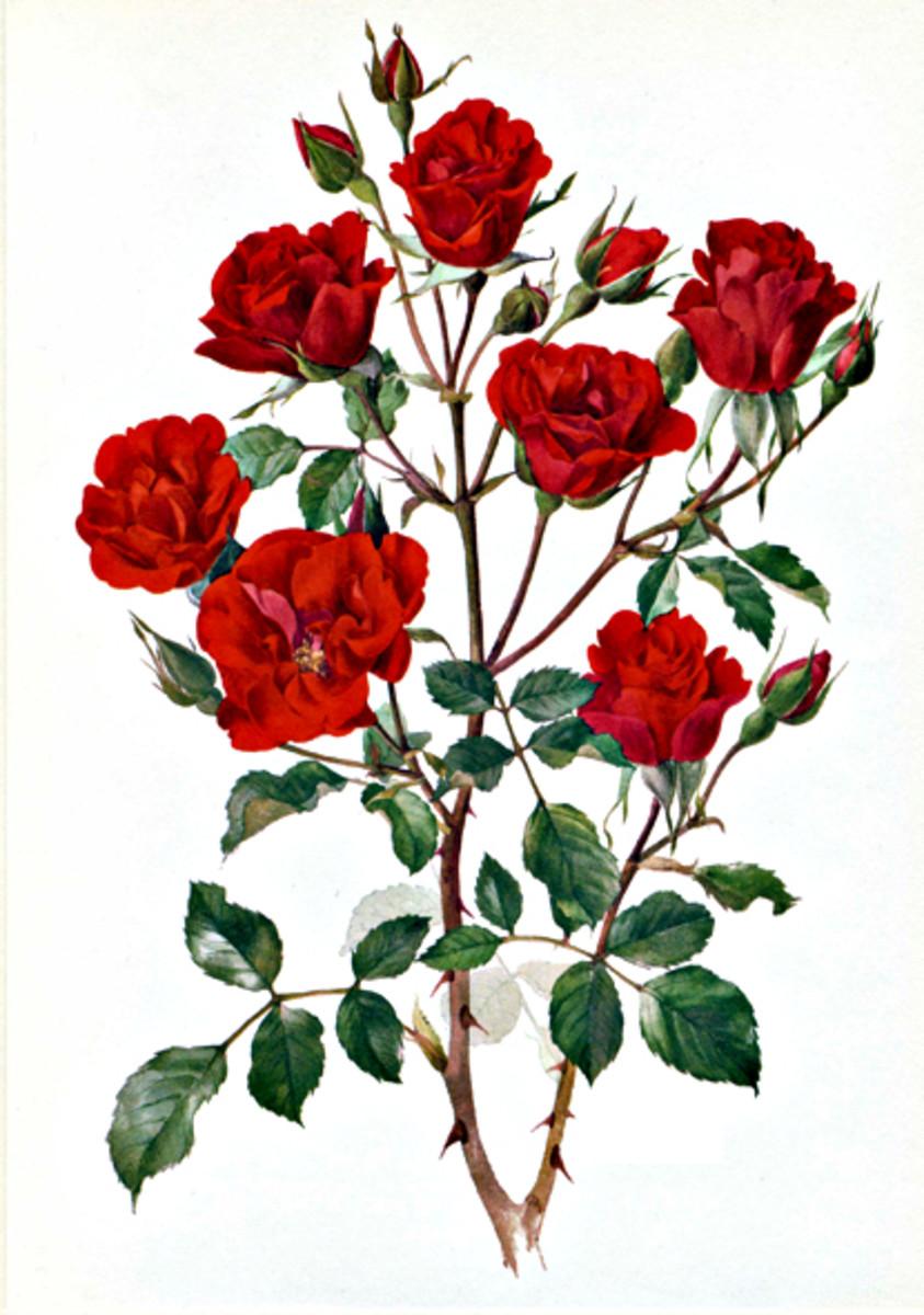 Rose Image 18