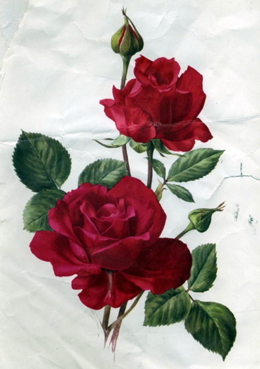 Rose Image 1