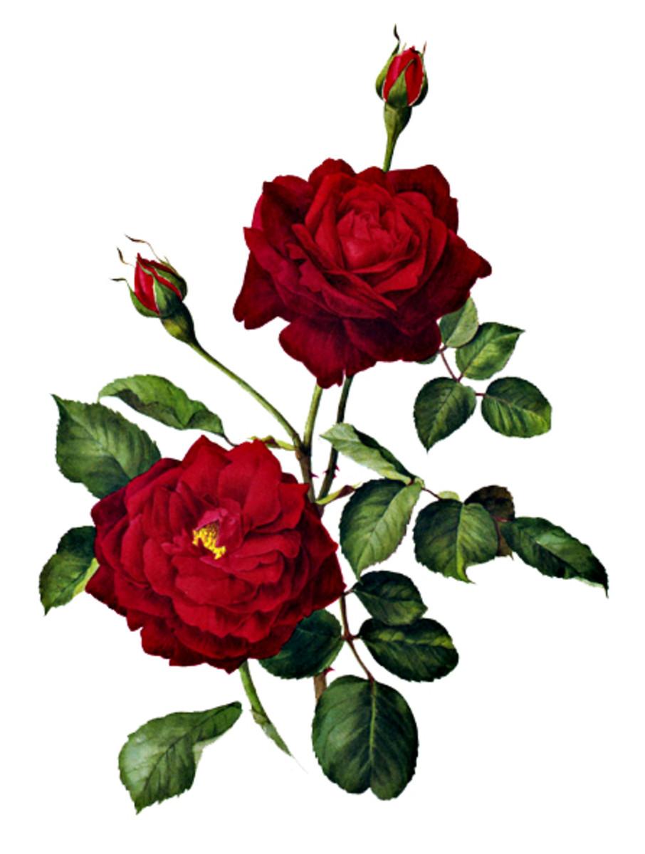 Rose Image 13